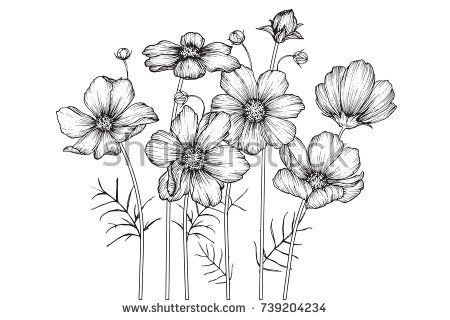 Cosmos Flowers Drawing With Line Art On White Backgrounds Buy This Vector On Shutterstock Find Other Images Flower Drawing Leaf Drawing Flower Sketches