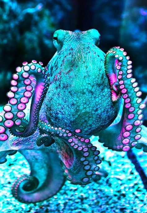 Octopuses have 2 eyes and 4 pairs of arms and are bilaterally symmetric. An octopus has a hard beak, with its mouth at the center point of the arms. Octopus lack an internal or external skeleton allowing them to squeeze through tight places. Octopuses are Underwater Creatures, Underwater Life, Underwater Animals, Breathing Underwater, Beautiful Sea Creatures, Animals Beautiful, Deep Sea Creatures, Beautiful Ocean, Beautiful Things