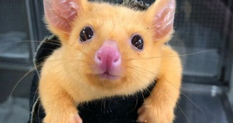 This golden possum looks just like Pikachu. The yellow marsupial is a rare variety of the common brushtail possum. Their golden fur is caused by a mutation.