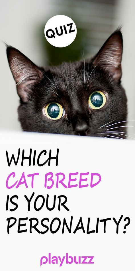 Which Cat Breed Is Your Personality Cat Movie Cat Breeds Cats