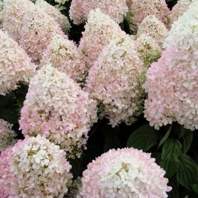 Van Zyverden Hydrangea Sweet Summer 4 In Potted Rocketliners Set Of 3 Plants 82912 The Home Depot In 2020 Summer Hydrangeas Hydrangea Hydrangea Paniculata