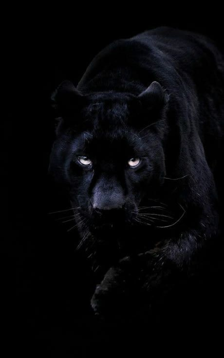 Black Jaguars Have Always Been My Favorite Wallpaper May It Be Pc Or Mobile Black Panther Cat Panther Cat Jaguar Animal