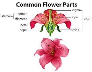 General Science Reproduction In Plants Ncert Class7 Pointstorememb In 2020 Parts Of A Flower Flower Anatomy Vector Flowers
