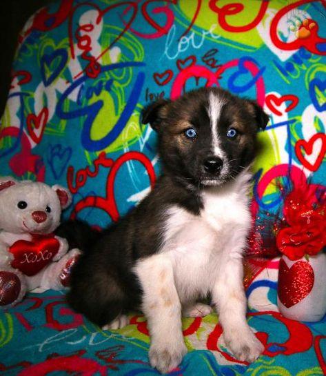 Atlas Siberian Husky Mix Puppy For Sale In Lagrange In