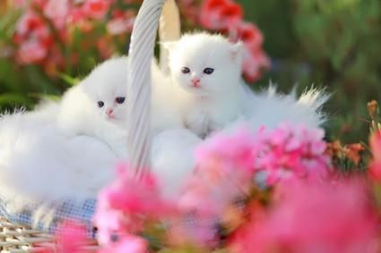 About The Persian Cat Persian Cat Cute Cartoon Pictures