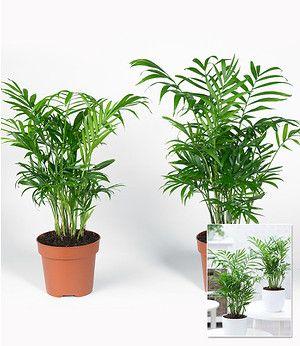 Zimmerpalmen Duo 2 Pflanzen Pflanzen Topfblumen Kubelpflanzen
