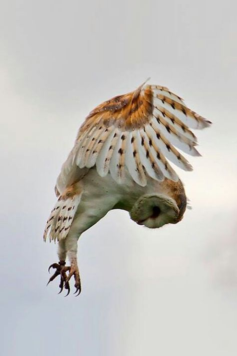 Barn owl coming in for a landing