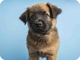 Pictures Of Bear A Chow Chow Australian Cattle Dog Mix For