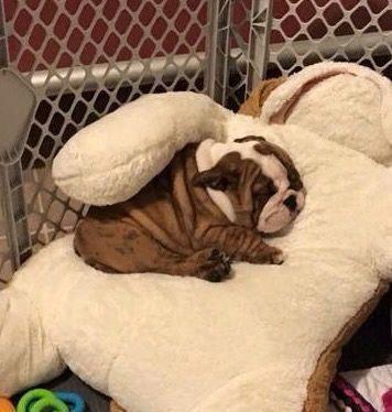 All the things we admire about the Calm Bulldog  #bulldogsofmelbourne #frenchbulldoglife #englishbulldog