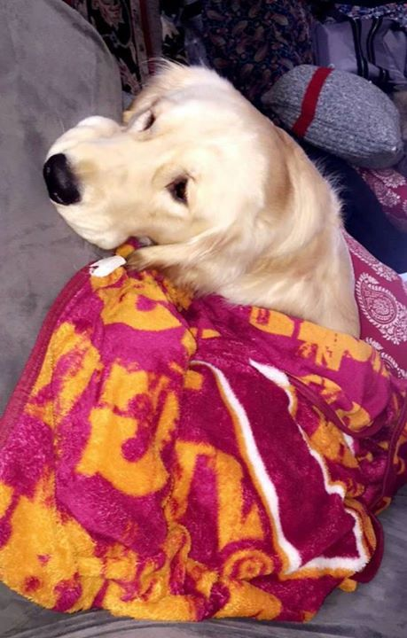 Floyd Got Tucked In For A Nap Service Dogs Dogs Service Dog