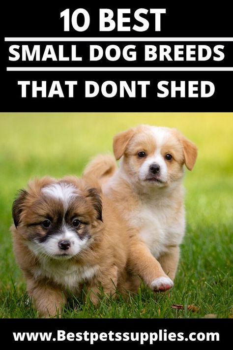 10 Best Small Dog Breeds That Don T Shed Best Small Dogs Dog Breeds That Dont Shed Dog Breeds