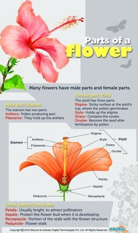 The Best Parts Of Gumamela Flower With Label And Functions And View In 2020 Parts Of A Flower Flower Science Biology Plants