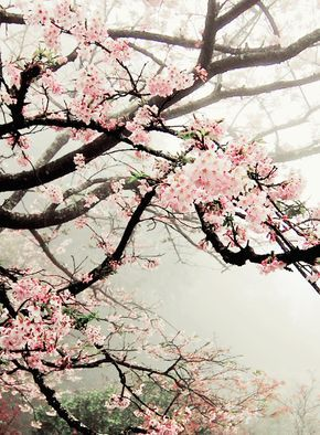 View The Washington D C Cherry Blossoms At Home With This Free Live Stream Cherry Blossom Quotes Cherry Blossom Wallpaper Cherry Blossom
