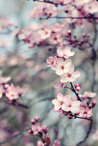 Tree Flowers Cherry Blossom Pictures Flowers Photography Flower Aesthetic
