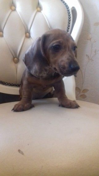 Beautiful Dachshund Puppies Ready Now Walsall West Midlands