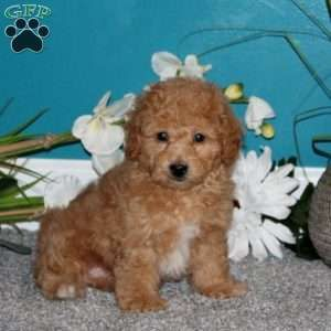 Bich Poo Puppies For Sale Greenfield Puppies Puppies Puppies For Sale