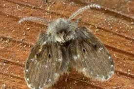 Drain Fly In Kitchen Sink Google Search In 2020 Moth Fly