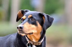 Appenzeller Sennenhund Doberman Dogs Dogs Rescue Dogs
