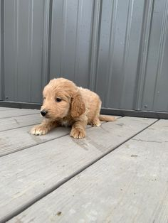 Meet Toby Male Ica Goldendoodle Puppy For Sale In Tuscola