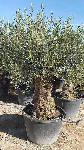 Large Bonsai Style Old Olive Trees For Sale Uk Jardins Secretos Frutas Em Vasos Jardim