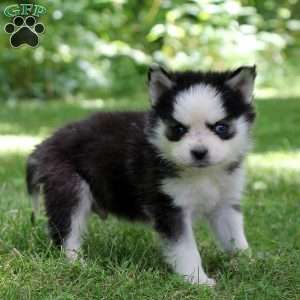 Pomsky Puppies For Sale Pomsky Breed Profile Greenfield Puppies Pomsky Puppies Puppies Pomsky Puppies For Sale