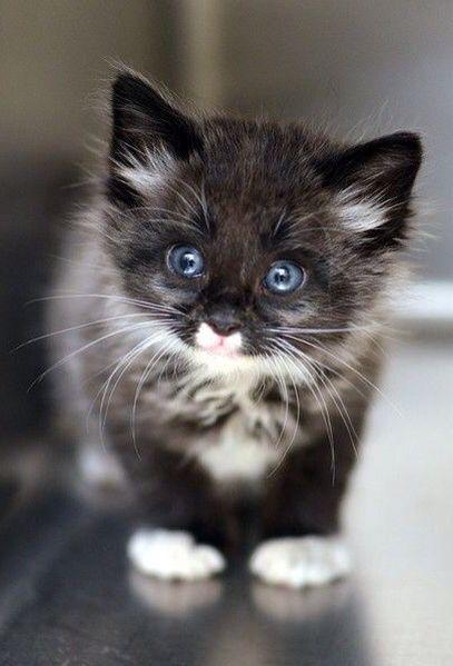 Blue Eyed Black White Kitten Animals Pet Photography Cats
