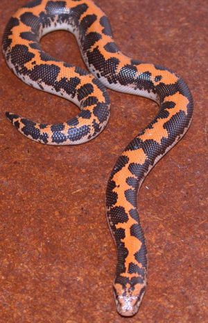 Egyptian Sand Boa....I so wish I could have one as a pet.