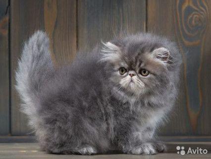 46 Best Ideas Cats Persian Himalayan Cats Persian Cat Kittens Cutest Persian Kittens