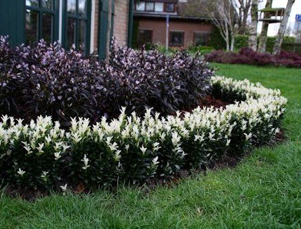 Features of Euonymus japonica Paloma Blanca are the WHITE NEW
