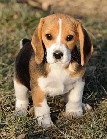 Discover Even More Information On Beagles Have A Look At Our Site