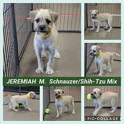 Mesa Az Shih Tzu Meet Jeremiah A Pet For Adoption Shih Tzu