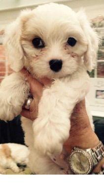 Cavachon Puppy For Sale Cavachon Cavachon Puppies Cute Animals