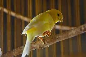 Kaki Kenari Berjamur Bubulan Bersisik Sebabkan Kaki Diangkat Satu Bird Animals Serta
