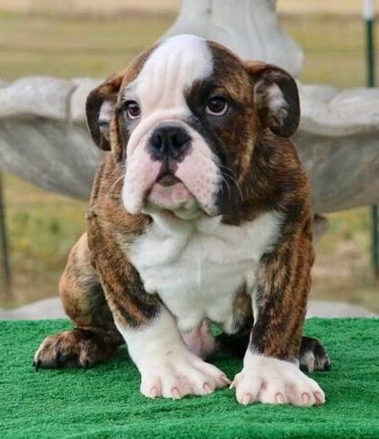 Rocky Is A Brindle Male English Bulldog Puppy American Born And