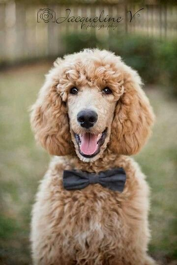All About The Athletic Poodle Pup And Kids Poodlepuppy