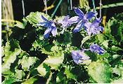 BLUE CHIPS, CAMPANULA. BLUE STAR FLOWER.  $12.00  BLUE CHIPS CAMPANULA IS MY FAVORITE PERENNIAL. EXTREMELY WINTER HARDY IN ALL STATES. EVEN BLOOMS PART WAY THRU WINTER. Read more - http://www.goodkarmaco.com/product.sc;jsessionid=24FF30CBD99D1D5E4EAD911262DE0421.qscstrfrnt04?productId=13=1