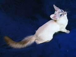 Presenting The Lovely Balinese Cat Breed Balinese Cat Cat