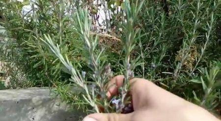فوائد اكليل الجبل Plants