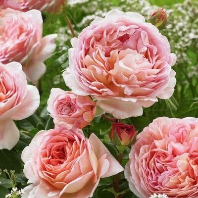 ZLKING 100PCS Colorful Chinese Rose Flower Bonsai Dragon Sand Garden Balcony Plant for Planting in the Garden Natural Perennial