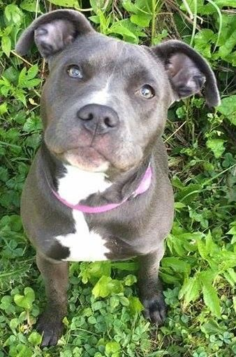 Adopt Allie Gator On Pitbull Terrier Pets Bull Terrier Mix