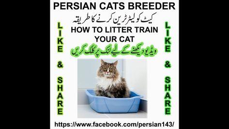 How To Litter Train Your Cat In Urdu Persian Cat Breeders Cat Breeder Persian Cat