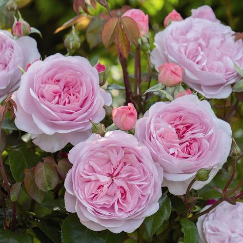 Any Rose named for a member of David Austin's family must be exceptional, and this lovely Shrub Rose is certainly that. Cupped, double blossoms...