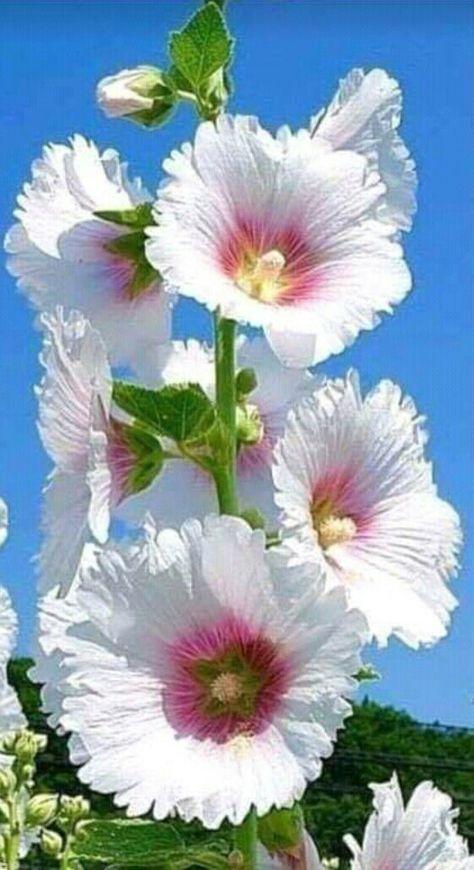 70 Flowers With Meaning Flowersandflowerthings Hollyhocks Flowers Beautiful Flowers Garden Amazing Flowers