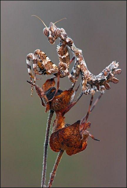 Brown Mantis Mantis Religiosa Large Brown Mantis Also Known As