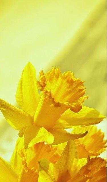 Yellow Daffodils Mana Vietne Yellow Daffodils Daffodils Daffodil Photography