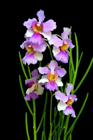 Papilionanthe Miss Joaquim Is A Hybrid Orchid Cultivar That Is Singapore S National Flower Orchid Photography Beautiful Orchids Orchid Flower