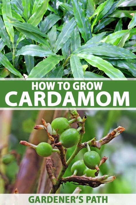 Looking to add a taste of the tropics to your garden? Consider growing green cardamom, the spicy, citrusy, minty spice that's used to season Indian and Middle Eastern savory dishes, as well as delicious breads and pastries the world over. Read more now on Gardener's Path. #cardamom #herbgarden #gardenerspath