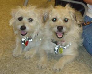Cute Cairn Terrier West Highland White Terrier Westie Mix An