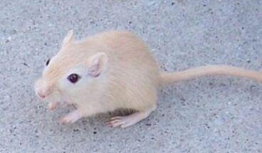 حروف اللغة العربية حرف ي Gerbil Rodents Small Pets