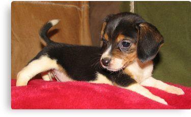 Queen Elizabeth Pocket Beagle Puppy Canvas Print By Marasdaughter